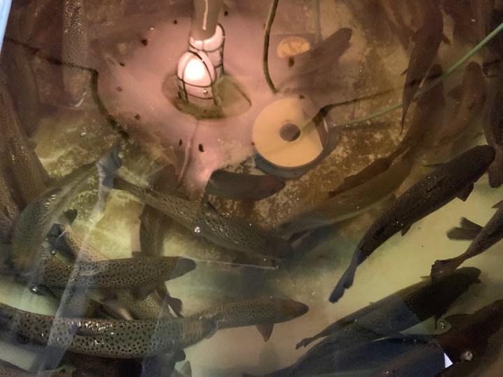 salmon swimming in a tank
