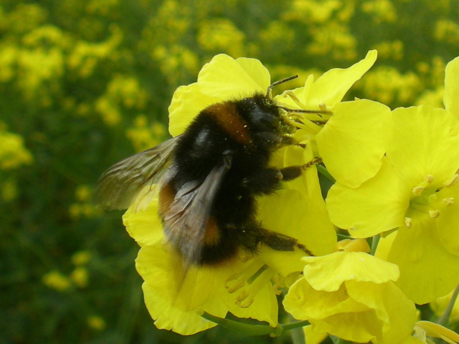 Neonic Pesticides Threaten Wild Bees Breeding Study  U