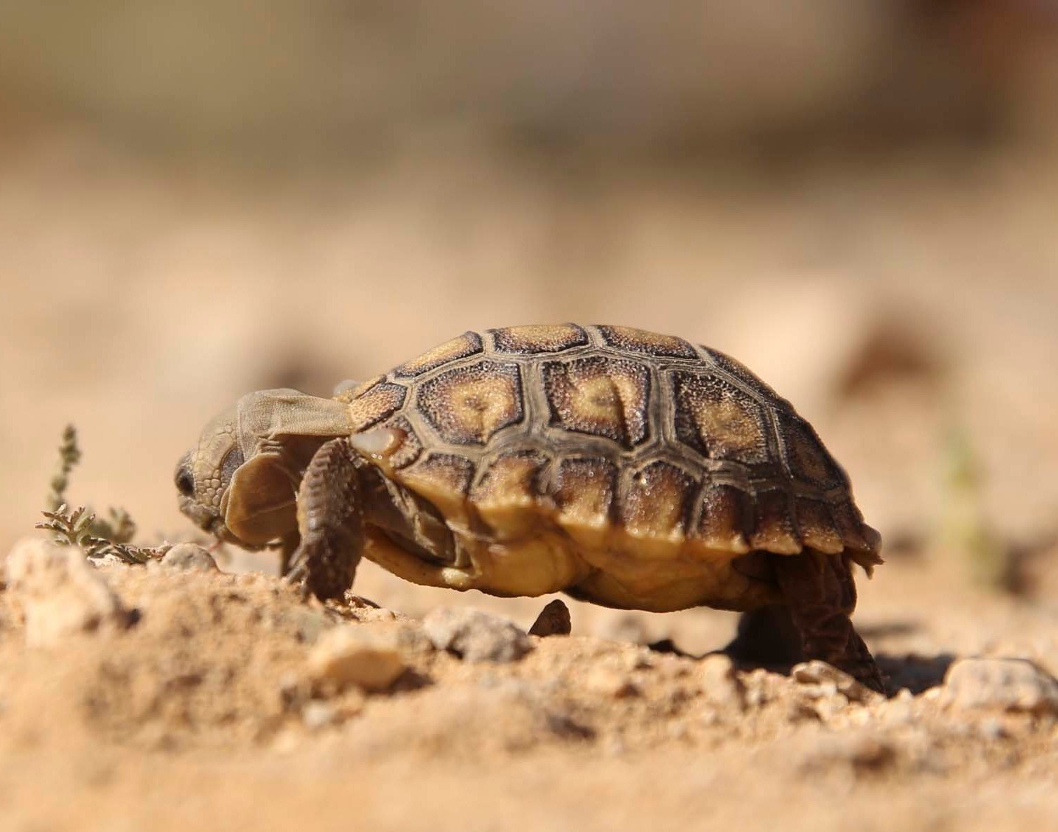 After Delay Marines Relocate Desert Tortoise To Make Way For Expanded Training