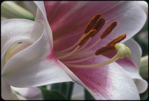 Trumpet Lily_0581