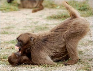 An adult Gelada monkey plays with a juvenile. A new special issue of Adaptive Behavior examines the evolution and origin of play via mathematical and computational approaches. Credit: Elisabetta Palagi
