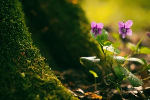 Violet blooming in spring