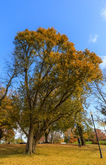 The state's largest ginkgo tree on the edge of Circle Park on November 15, 2019. Photo by Steven Bridges/University of Tennessee