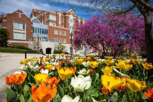 Tulips bloom along Ped walkway