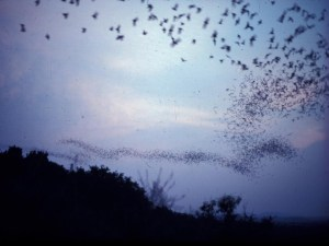 A large number of Brasilian free-tailed bats leaving Frio Cave in Texas.