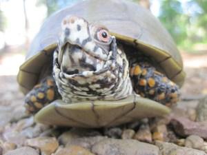 A Terrapene carolina, or eastern box turtle, near Lake Poinsett, Arkansas in 2013. Credit: Beth A. Reinke