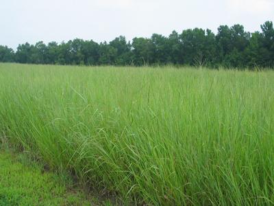 Field of mature switchgrass (photo courtesy of Kelly Tiller, UT Office of Bioenergy Programs)
