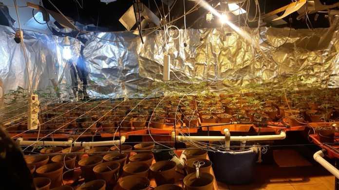 655 cannabis plants raided in Sir Lowry's Pass