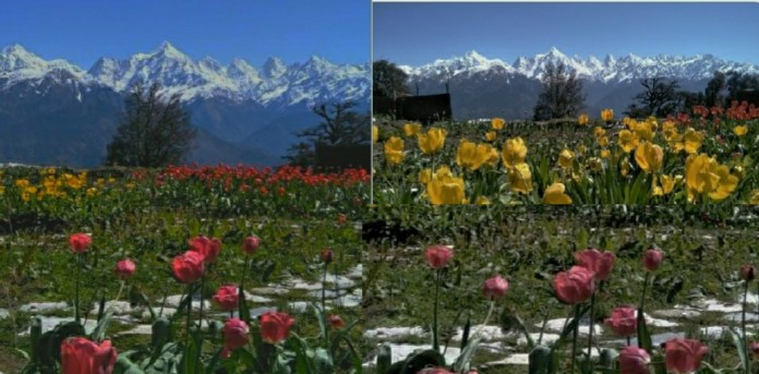CM Rawat posted beautiful photo of world's largest tulip garden