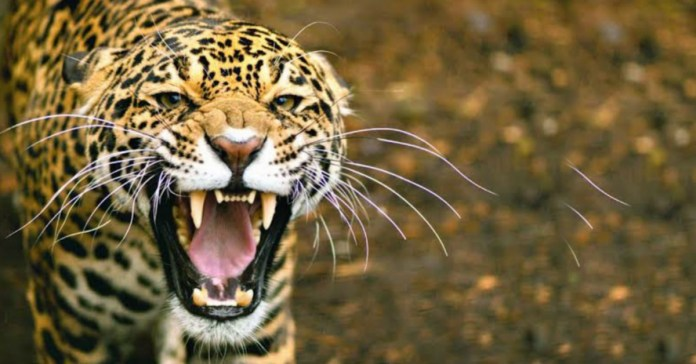 Leopard killed 90 Goats in Jalal Village of Nainital, Uttarakhand