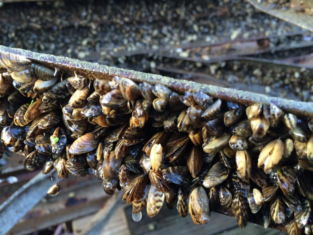 Zebra Mussels Invade Lake Mendota