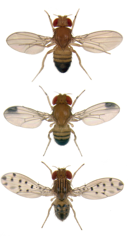Caption Different Species Of Fruit Flies Exhibit