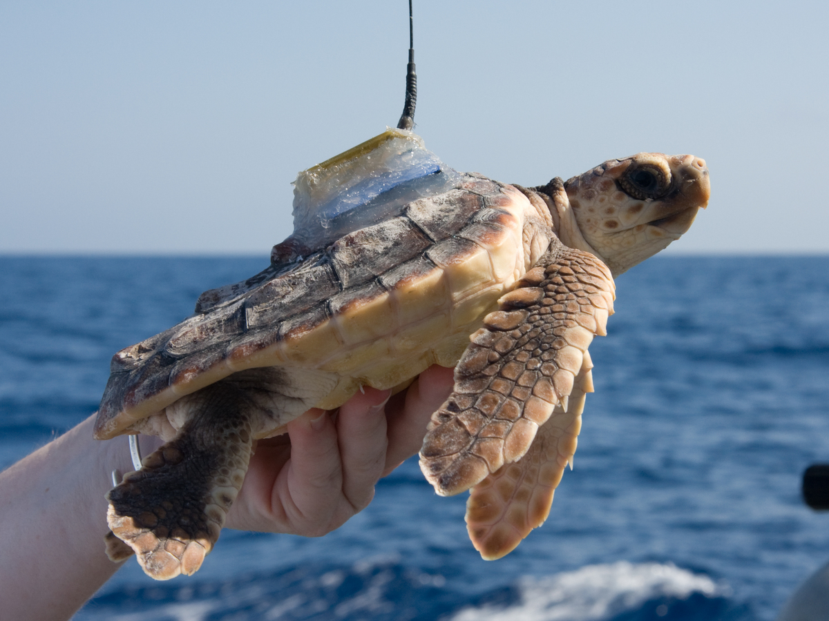 Baby Sea Turtles Spend Lost Years In Warm Blankets Of