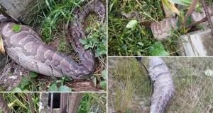 snake bites in Nigeria