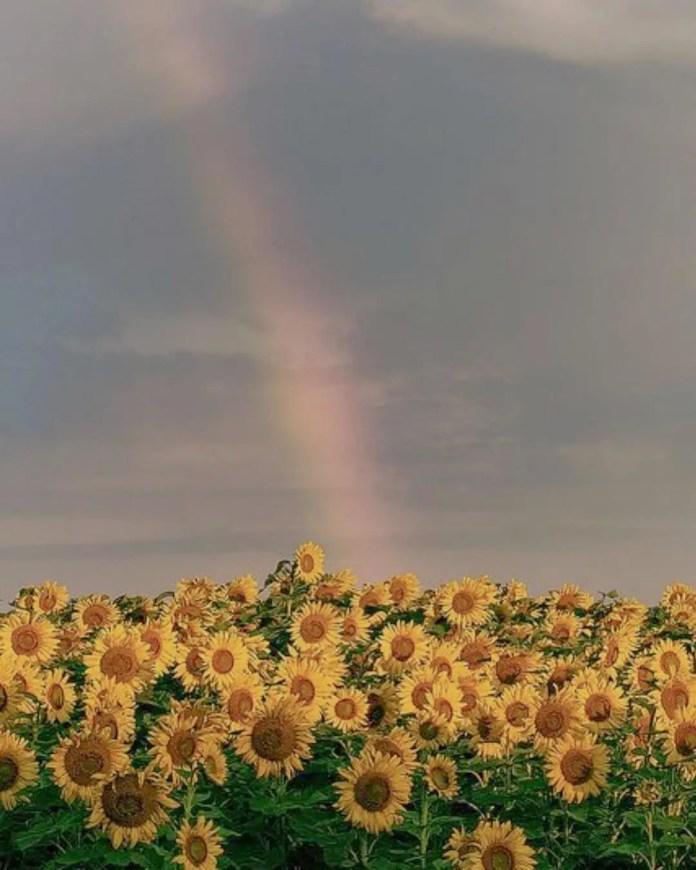 Londie London Sunflower