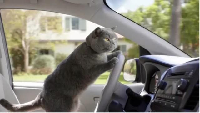 Cat taxi driver