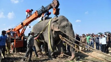 Photo of Rogue elephant Laden dies in captivity after killing villagers