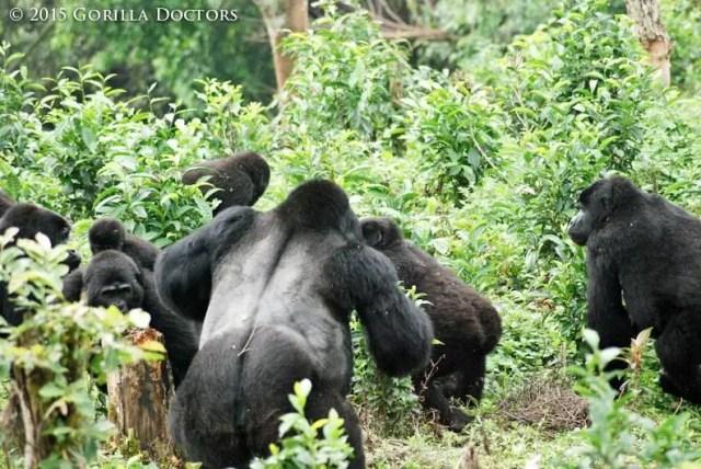 Rafiki silverback gorilla