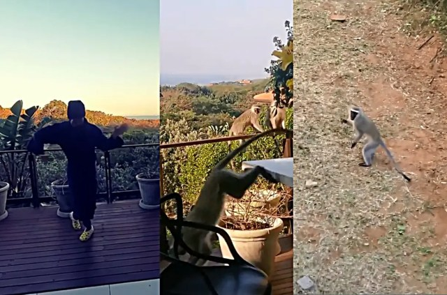 monkeys having breakfast at Somizi