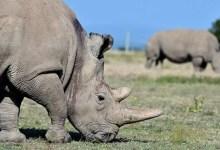 white rhinos