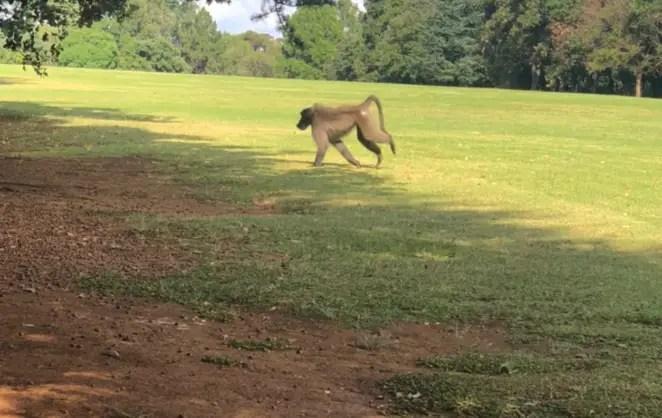 Baboon on the loose in Joburg suburbs