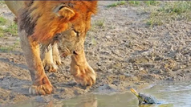 Territorial turtle chases lion from his waterhole