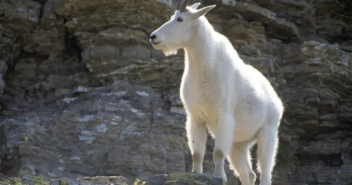 Woman allegedly turns into goat while in bed with boyfriend