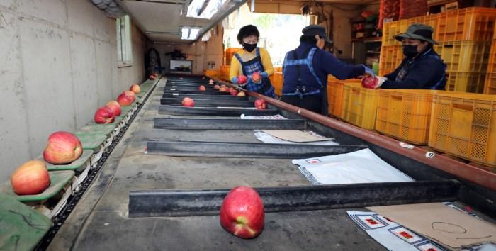 [Photo News] Preparation of Apples for Chuseok