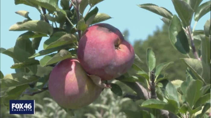 Slim apple pickings, other crops thriving this season in the Carolinas