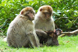 Female Barbary macaques at Trentham Monkey Forest