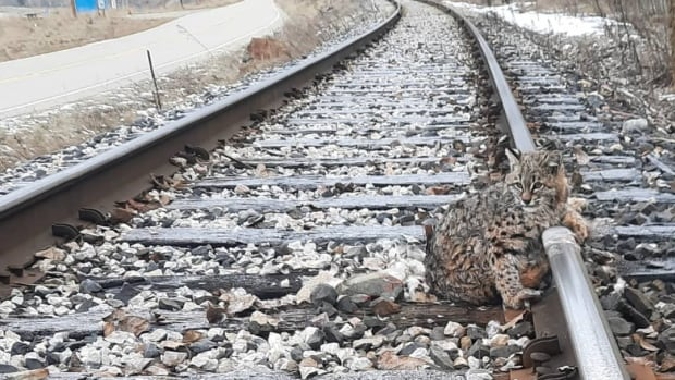 This bobcat was frozen to train tracks in B.C. It was rescued 30 minutes before a train sped by   CBC News