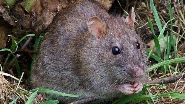 Combine a global pandemic and a warm winter and you get … rats? | CBC News