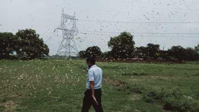 Locusts' attack in Varanasi-Azamgarh-Bhadohi