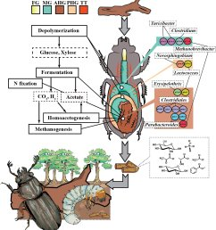 a diagram of the passalid beetle s compartmentalized gut and the distribution of metabolic processes and [ 1332 x 1464 Pixel ]