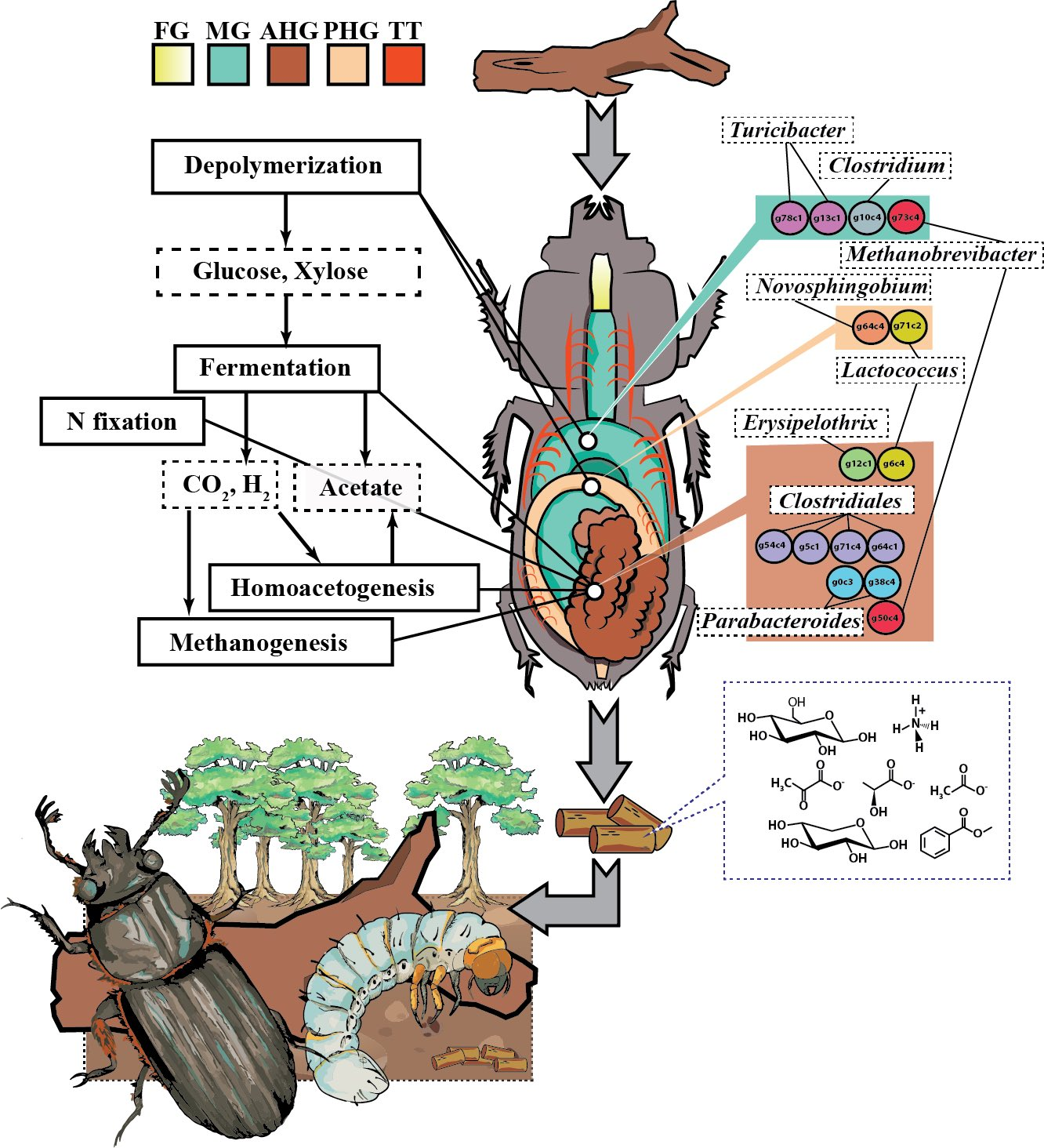 hight resolution of a diagram of the passalid beetle s compartmentalized gut and the distribution of metabolic processes and