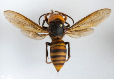 Washington state discovers first 'murder hornet' nest in US