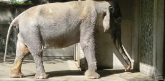 World's Saddest Elephant