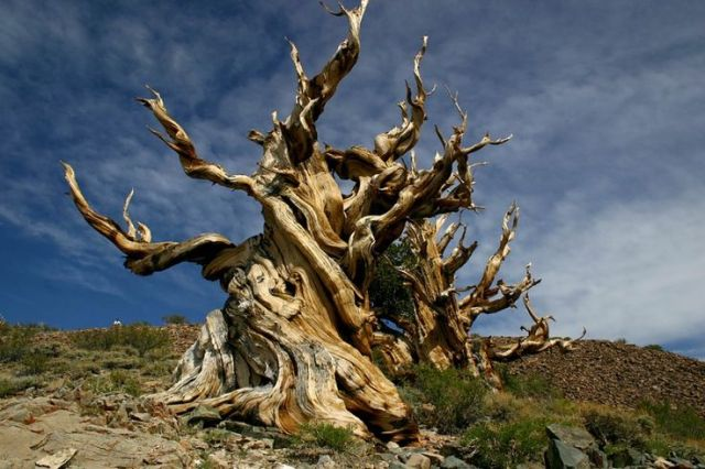 methuselah-tree-in-california-the-original-picture
