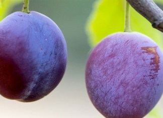 eating plums