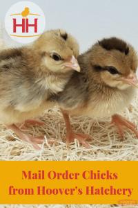 mail order chicks