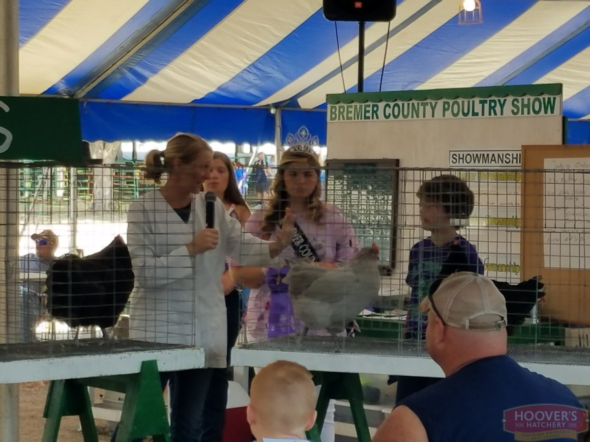 Judging of poultry at a county fair 4-H and FFA show