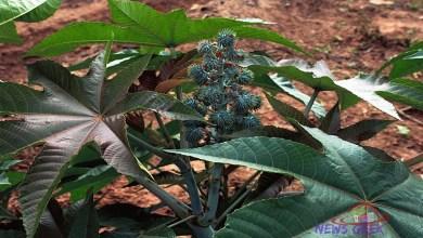Imagem: Mamona - Planta que ocupa o primeiro lugar das mais venenosas.