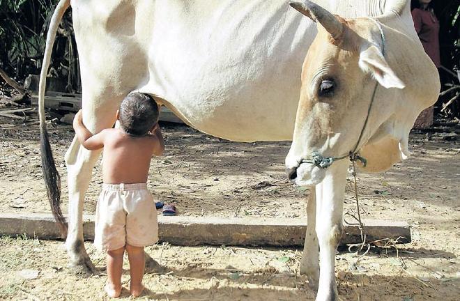 Toddler Cow