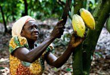 A cocoa farmer in Amankwaatia, Ghana