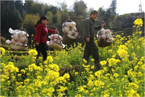 Residents of Huaibao in Liuzhou, southern China's Guangxi Zhuang Autonomous Region, carry harvested ganoderma. The government has provided more than 40,000 ganoderma as well as technical and sales services to local residents to help lift them out of poverty. (Photo by People's Daily Online)