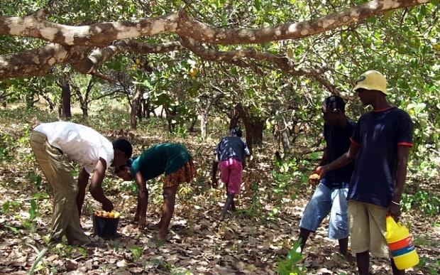 Cashew Farmers