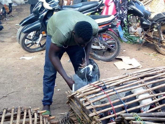 Livestock Survey (guinea fowl)