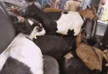 Vehicle Stolen Goats