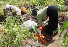 Tomato Farming