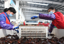 Employees sort crayfish at a crayfish trading center in Qianjiang city, central China's Hubei province, March 17. Wu Yanjun/ People's Daily Online